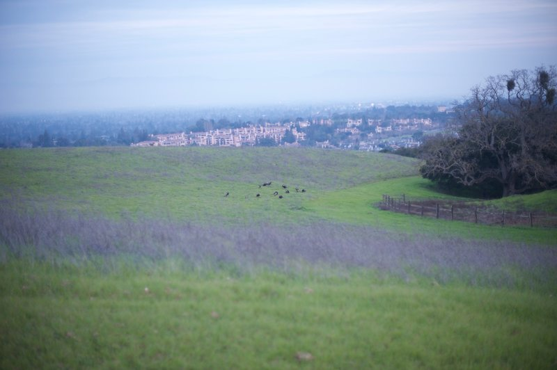 Off to the left, turkeys feed in the fields in the evening. You can see the developed area of the Bay Area and what the preserve would have become if not protected.