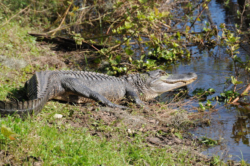 An alligator suns itself next to the Spillway Trail in Brazos Bend State Park.