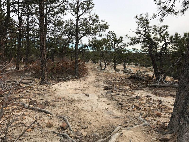 Scrub pines alongside the trail.
