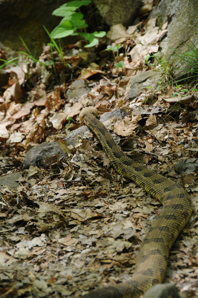 Stay mindful of where you step - there are Eastern Timberland Rattlesnakes in Harriman State Park.