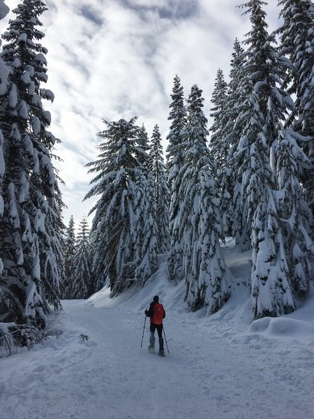 The packed logging road made for easy, peaceful snowshoeing through the trees.