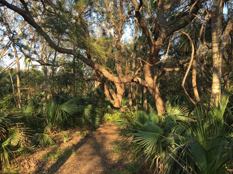 The Palm Hammock Trail travels under the oak canopy.