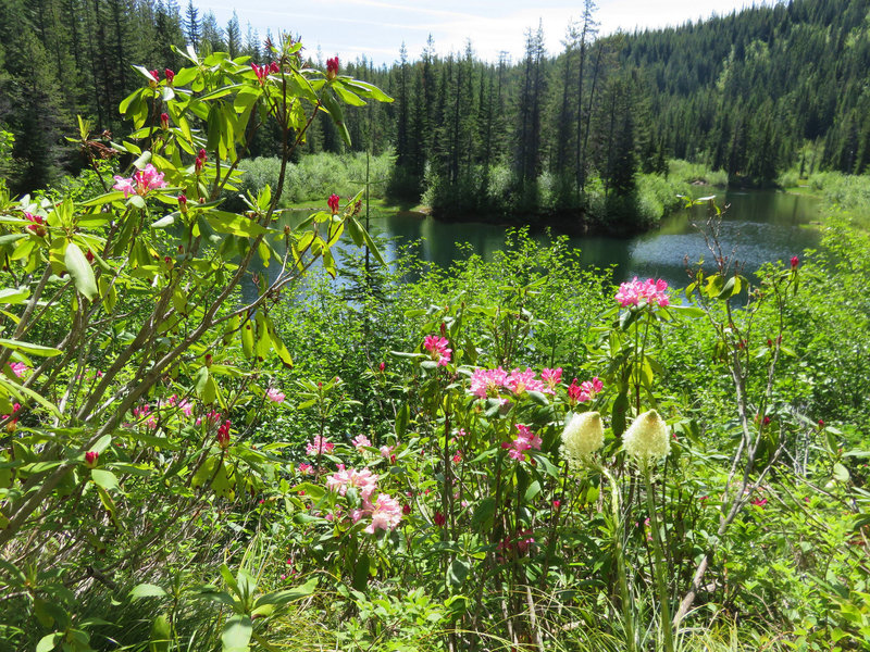Rhododendron and bear grass bloom along the Cast Lake Trail as it approaches Cast Lake. Photo by Yunkette.