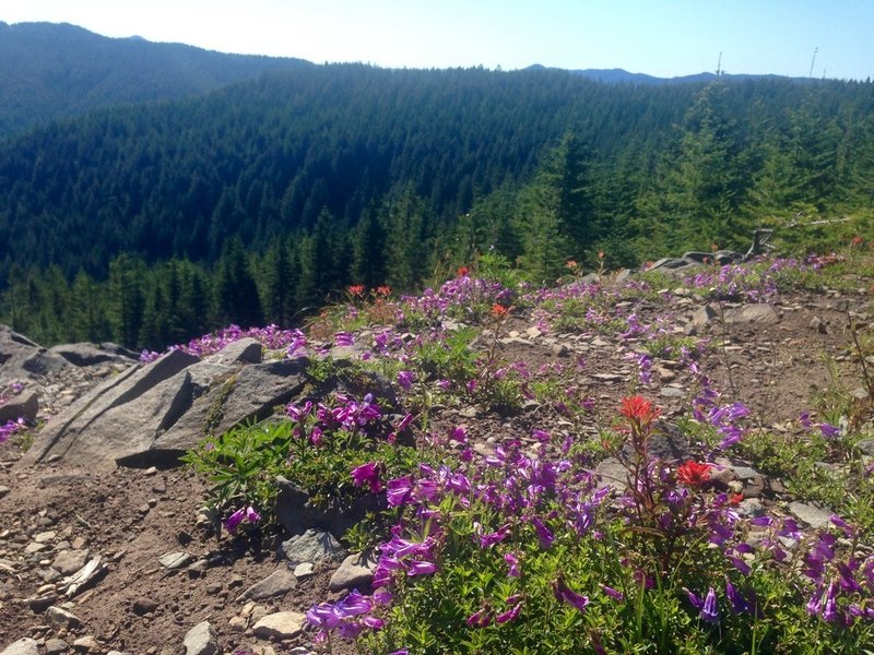 Rock penstemon grow on the Douglas Trail. Photo by Cameron Brown.