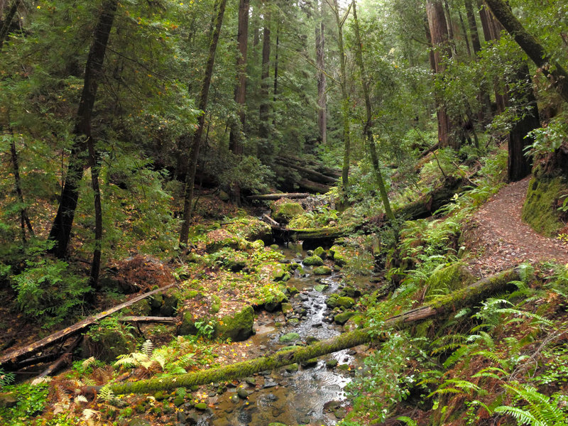 West Waddell Creek trickles through a verdant forest in Big Basin Redwoods State Park.