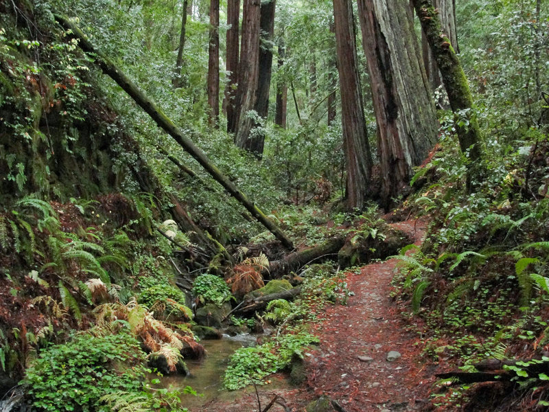 The old-growth redwood forests teem with life along the Berry Creek Falls Trail.