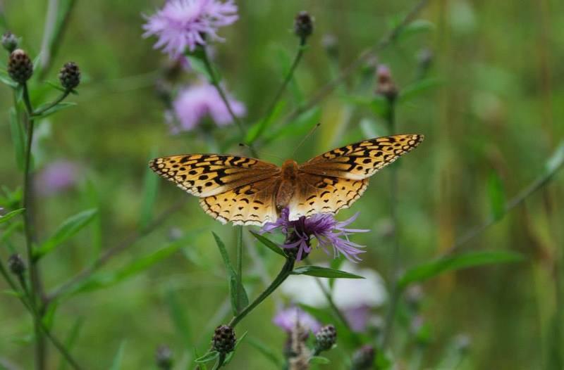 A butterfly lands on a flower in Schunnemunk Mountain State Park.