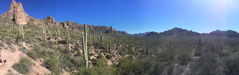 A saguaro forest stands tall alongside the Dutchman Trail.