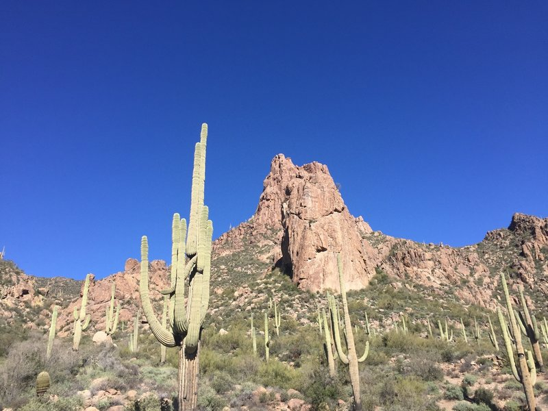 A forest of saguaro stand in front of a geologic formation.