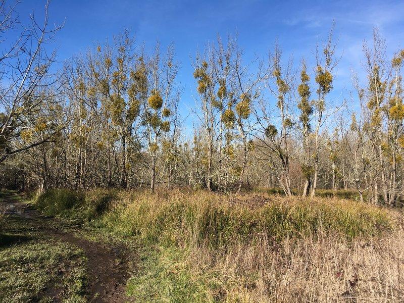 Mistletoe eats away at the grove along the Blackberry Trail.