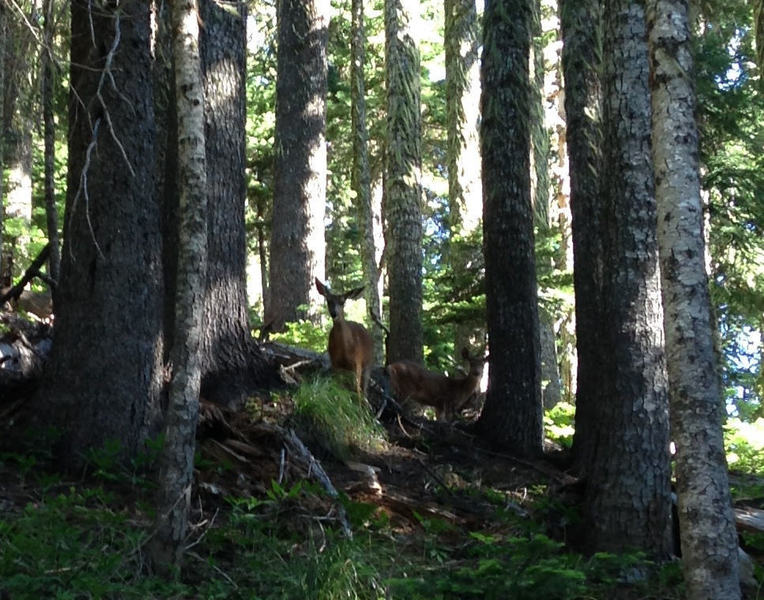 The deer hang out in tree-lined meadows along the trail to Umbrella Falls. Photo by Colette Gardiner.