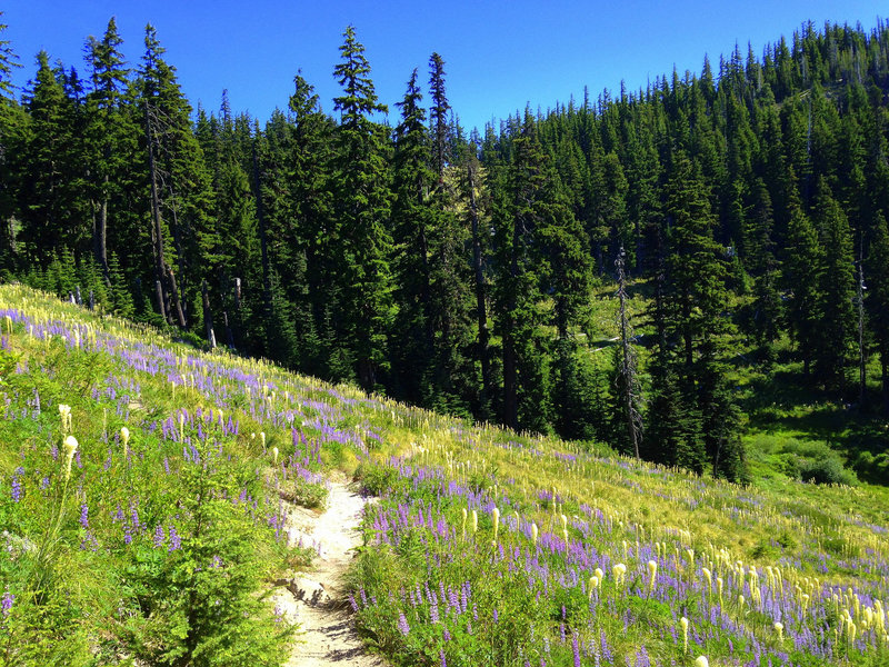 Meadows of lupine and bear-grass adorn the trail to Umbrella Falls. Photo by Colette Gardniner.
