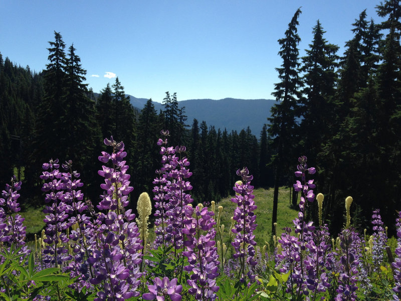 Lupine carpets the ski-run openings along the Umbrella Falls Trail. Photo by Colette Gardiner.