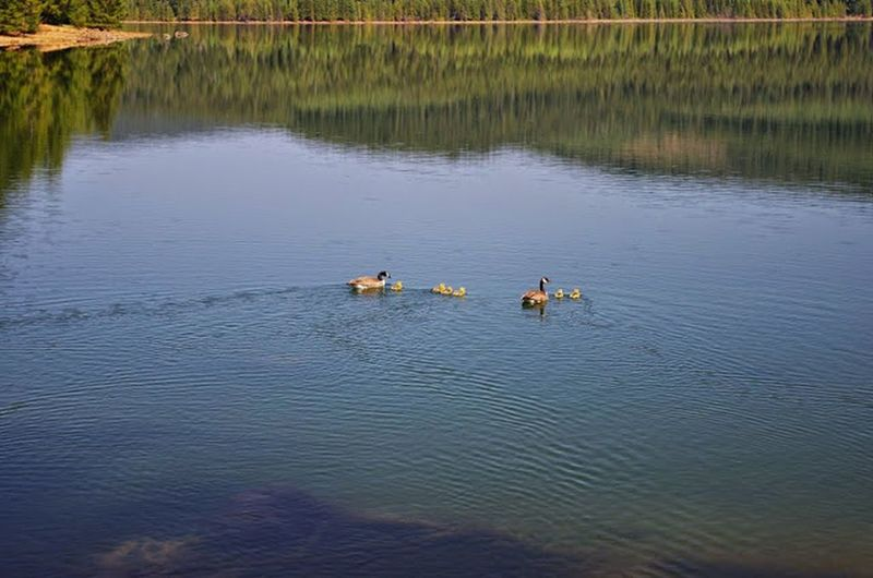 A family of geese and goslings swim along the Southshore Trail near Pine Point Campground. Photo by Gene Blick.