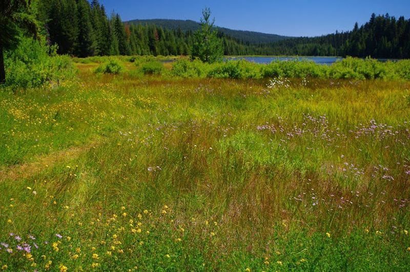 There are large wet meadows around the North Arm Campground and the Timothy Lake Trail. Photo by Gene Blick.