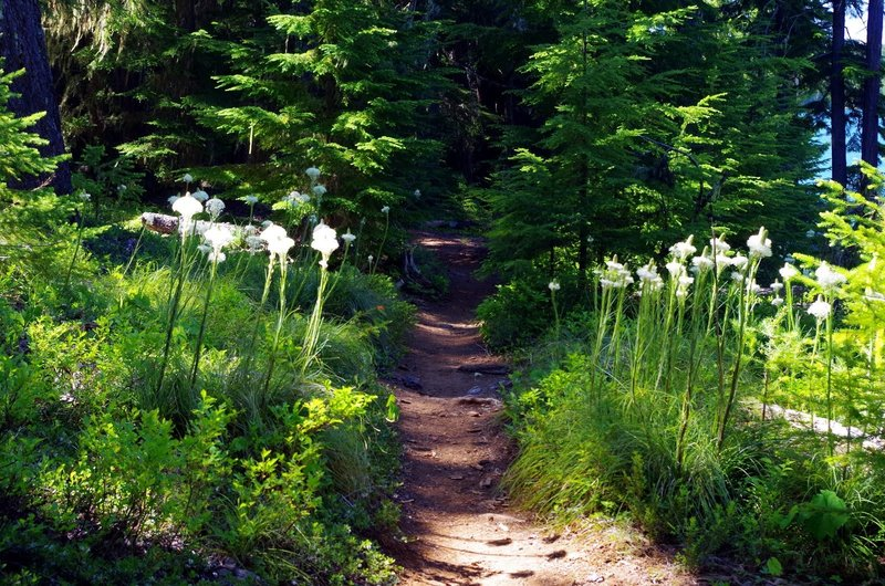 Bear-grass grows right alongside the Timothy Lake Trail. Photo by Gene Blick.