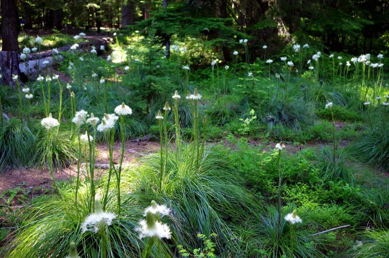 Bear-grass blooms in June and July on the Timothy Lake Trail. Photo by Gene Blick.