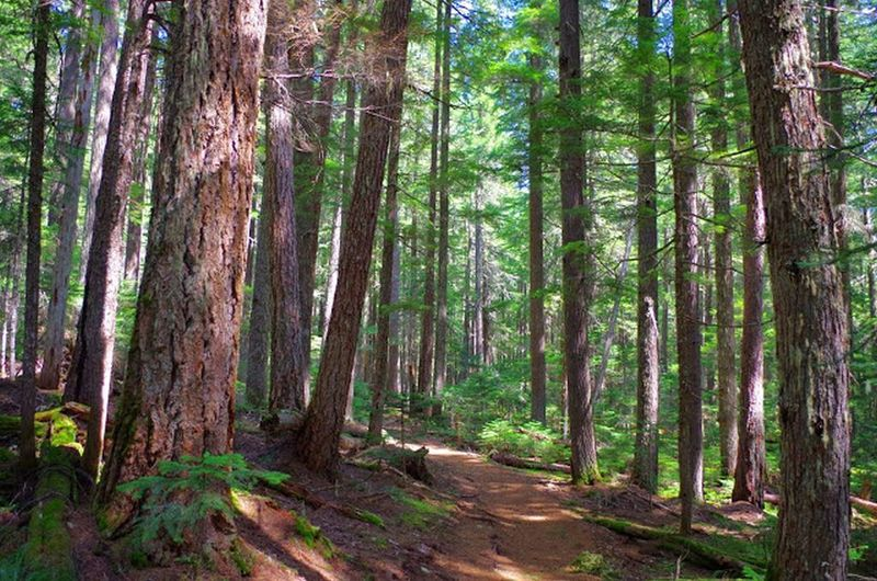 The Timothy Lake Trail travels through dense evergreen forests on its way to the North Arm Campground. Photo by Gene Blick.
