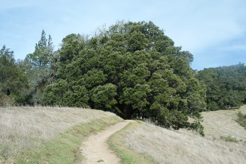 The trail passes under a large tree that provides shade from the sun and a nice place to rest on a hot day.