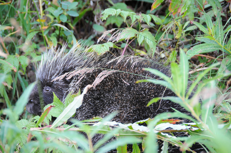 A porcupine hangs out quietly next to the trail.