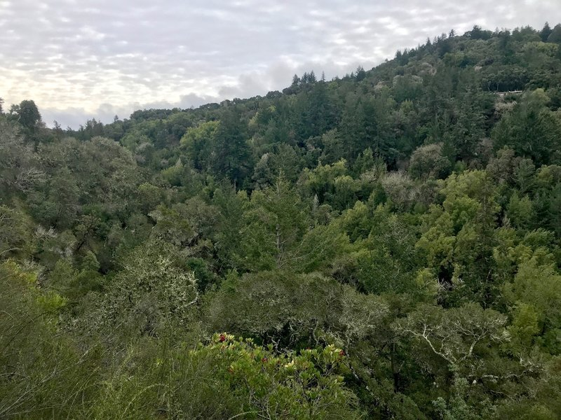 Enjoy this view looking down over the forested Corte Madera Creek Canyon from the Toyon Trail.
