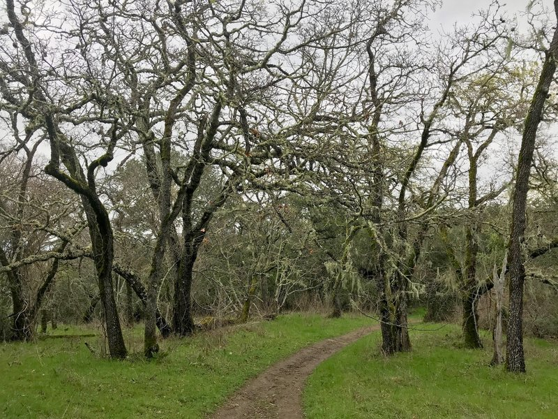 Experience a grove of lichen-covered blue oaks on the Old Spanish Trail.