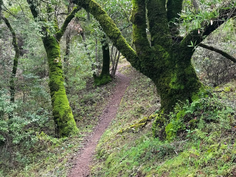 Mossy old oak trees greet visitors to the Toyon Trail.