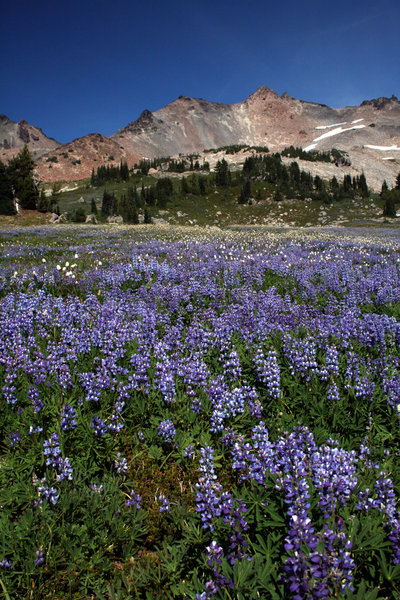 Fields of lupine and american bistort blanket the Goat Rocks Wilderness.
