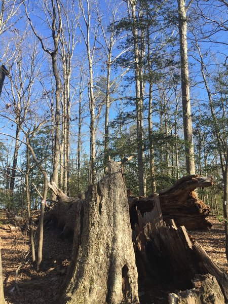 This fallen oak is used for teaching along the trail.