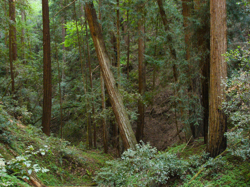 A cool, shady redwood canyon follows the Canyon Trail in Butano State Park.