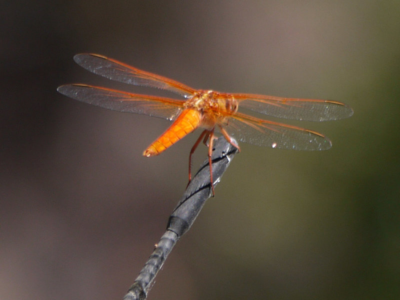 A dragonfly perches on a car antenna in Little Shaw Valley.