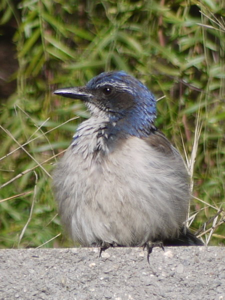 A bird with a blue crown enjoys the scenery in Little Shaw Valley.