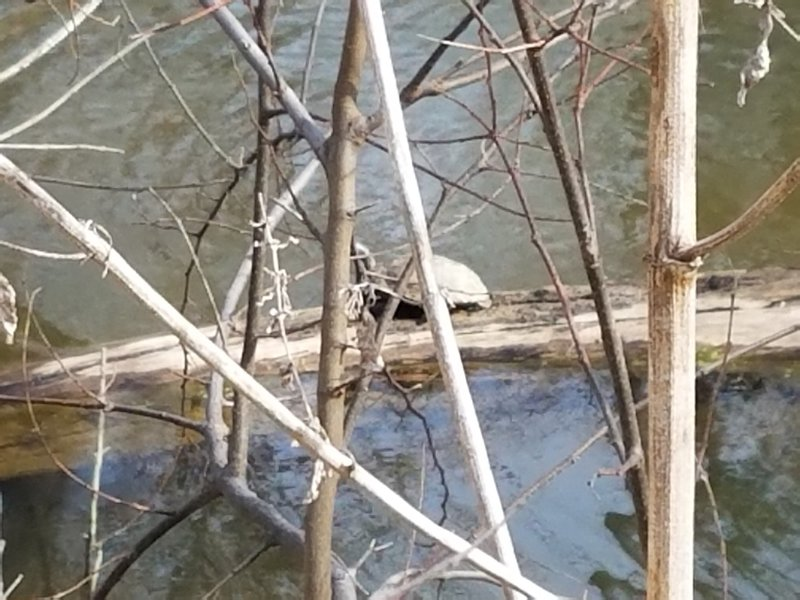 This is the bravest turtle in Cedar Hill State Park. The other 8 that were also sunning themselves on this log dove into the water when I approached, but this guy wasn't giving up his warm spot!