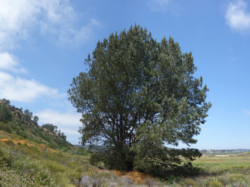 A lone tree stands in this part of Torrey Pines State Natural Reserve.