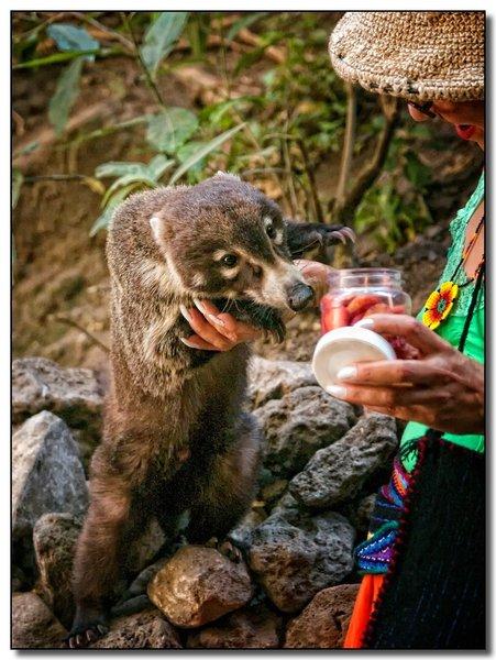 A Coatimundi (or coati) looks for a snack on the trail to El Tepozteco.
