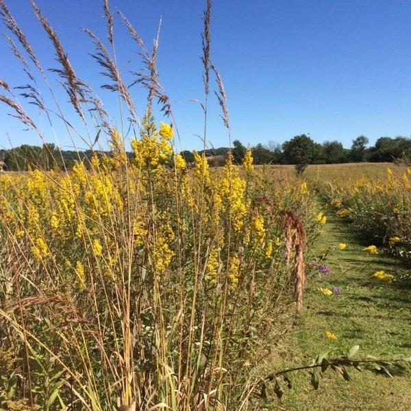 Goldenrod and New England asters bloom well into the fall months.