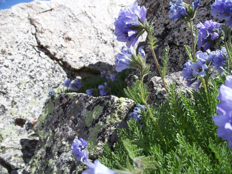 Beautiful flowers shelter among the rocks near the summit of La Plata.