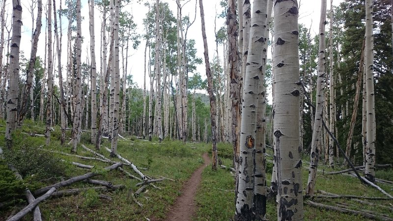 Aspen forests adorn the trail.