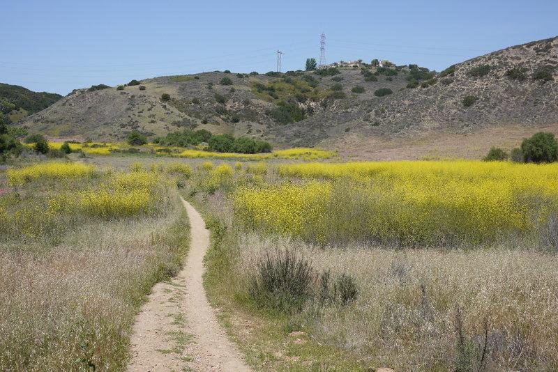 Mustard bloom in Los Peñasquitos Canyon.