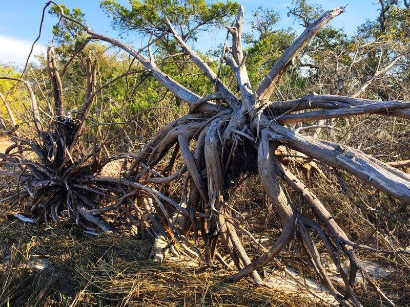 Upturned trees sit alongside the Cape Fear River on Oak Toe.