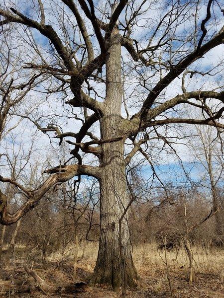 Grandpa Oak stands along the Moderate Loops.