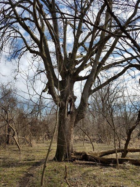 Great-Grandpa Oak stands along the Moderate Loops.