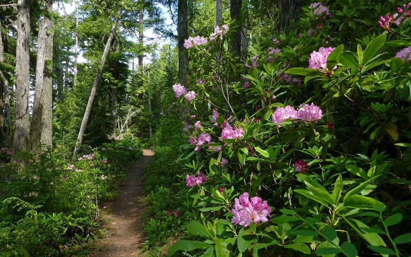 Rhododendrons bloom beautifully in June along the Timberline Trail between Ramona Falls and Yokum. Photo by Karl E. Peterson.