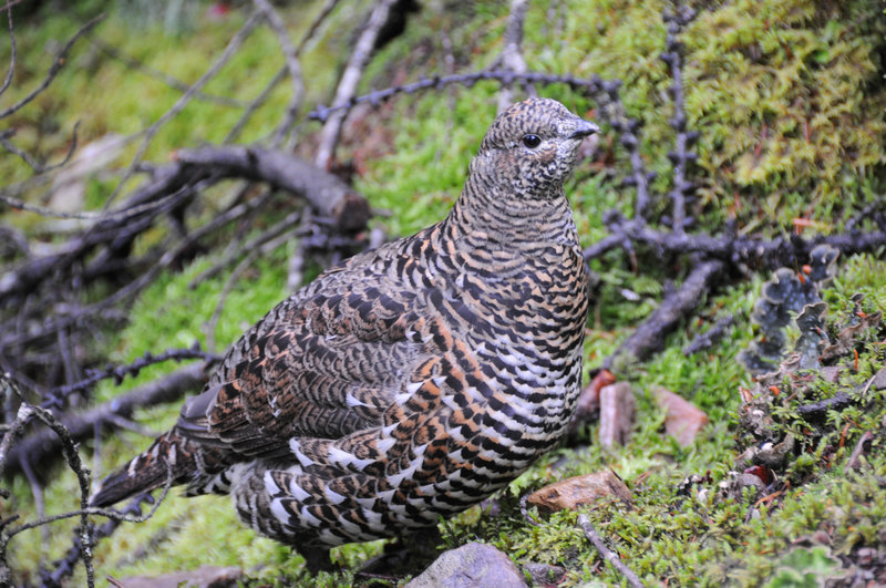 A ptarmigan stands right next to the trail on a wet morning.