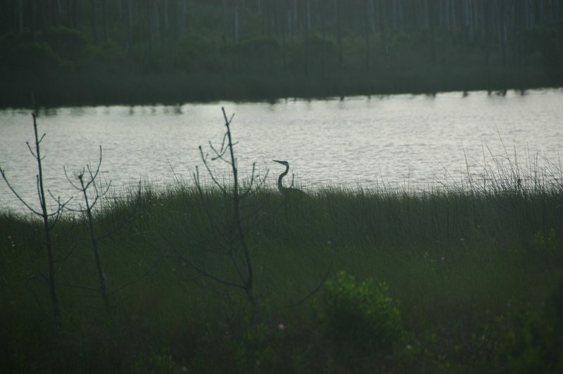 A Great Blue Heron forages along the banks of Gator Lake.