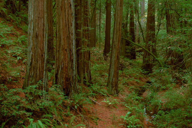 A lush redwood grove stands along the Steep Ravine Trail.