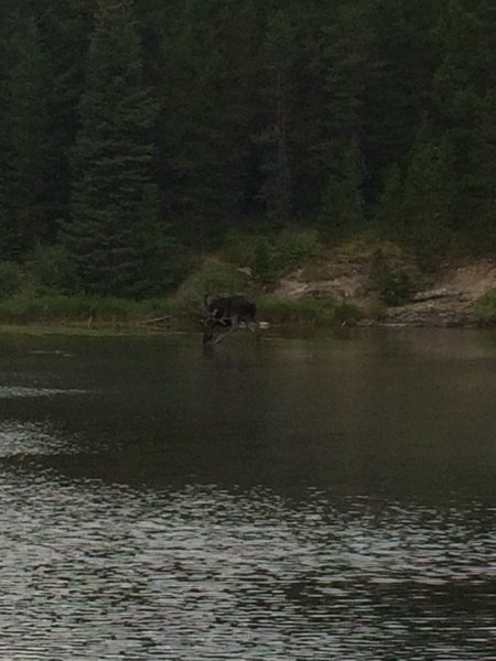A bull moose stands in Fishercap Lake, Fall 2016.