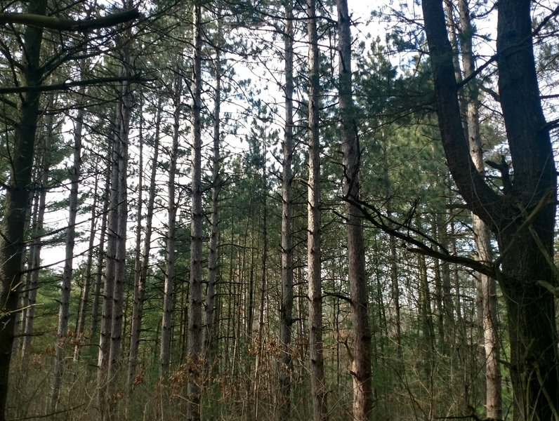 Enjoy a beautiful pine forest before reaching the road crossing on Hickory Ridge Hike & Ski Trail.