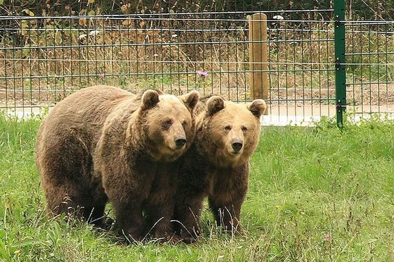 Check out the fenced bears along the trail! They belong to the Brown Bear Foundation in Asturias.