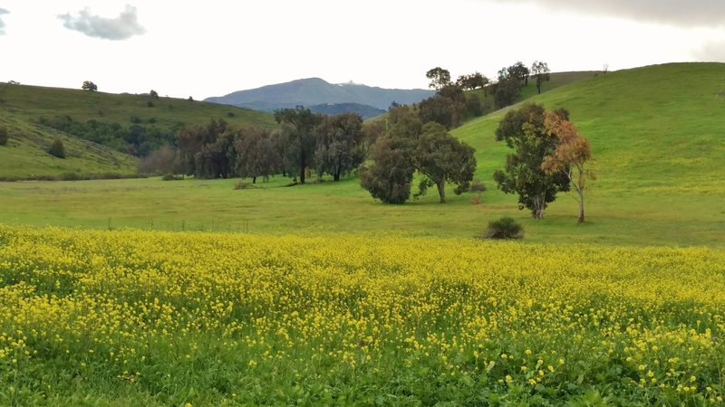 Spring mustard fields bloom along the Pueblo Trail with Loma Prieta (3,786 ft), the highest peak in the Santa Cruz Mountains, in the distance.